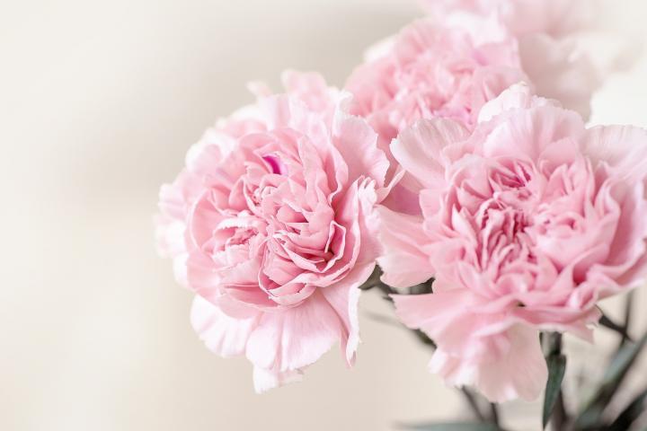 carnations_full_width
